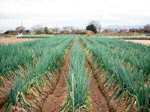 深谷ねぎ収穫体験